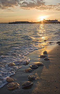 Jellyfish washed up on Port Melbourne beach at sunset