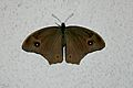 Open wing of eclosed Melanitis leda (Linnaeus, 1758) – Common Evening Brown