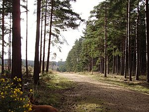 Track through Swinley Forest - geograph.org.uk - 714801