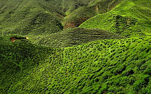 Cameron Highland Tea Plantation 2012