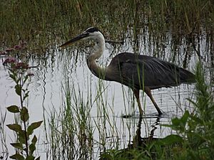 Great Blue Heron on Lake Howard