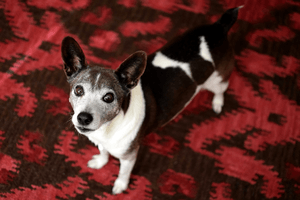 16 year old Rat Terrier