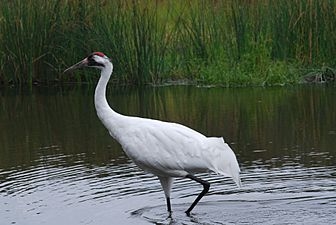 Whooping Crane (3873713594)