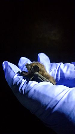 An evening bat in the hands of a researcher