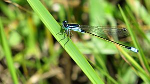 Male Common Bluetail (15390570793).jpg