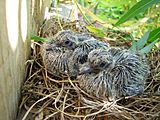 Two baby doves with sprouting feathers, sitting in a nest