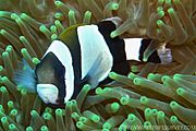 Amphiprion latezonatus, Norfolk