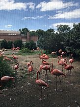 Flamingos in the National Zoological Park
