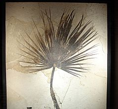 Fossil Sabalites sp palm