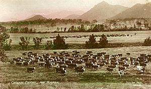 Herds of cattle grazing on Coochin Coochin station ca. 1909