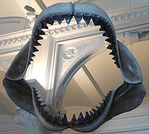 Megalodon shark jaws museum of natural history 068