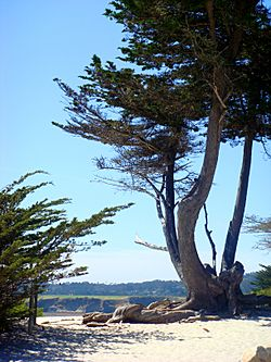 View towards the city's white-sand beach with an old Monterey Cypress in the foreground