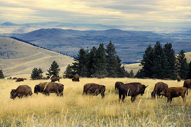 Bison herd grazing at the National Bison Range