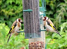 Carduelis carduelis -United Kingdom -two at garden bird feeder-8