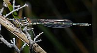 Cup ringtail damselfy Austrolestes psyche, teneral male (37795952142)