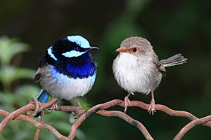 Male and female superb fairy wren