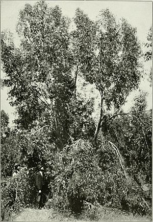 "Eucalyptus occidentalis from ""Eucalypts cultivated in the United States"" (1902) (14596637437)"