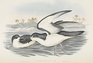 Gould's Petrel illustrated by John Gould with Cabbage Tree Island in the background