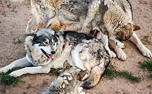 Grey wolves at Wild Animal Sanctuary