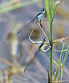 Common bluetail 3388-9