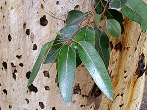 Eucalyptus cladocalyx leaves and bark