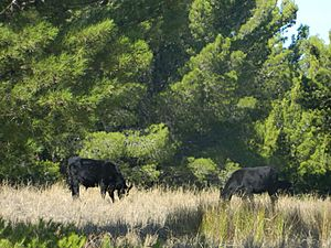 Wagyu Bulls in Alberto Forest