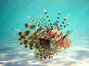 Lionfish with Spread Pectoral Fins
