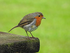 Robin catching it's dinner