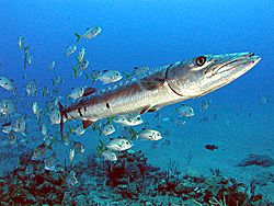Great Barracuda off the Netherland Antilles