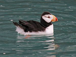 Horned Puffin RWD4