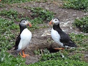 Two puffins facing each other