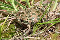 Spotted-Marsh-Frog