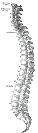Gray 111 - Vertebral column