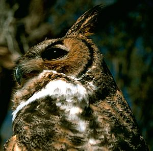 Great Horned Owl.USFWS