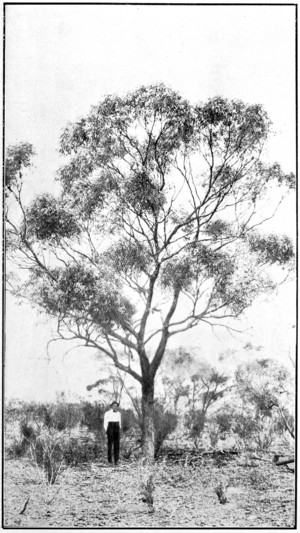 Goldfields Red Flowering Gum in Primer of Forestry Poole 1922