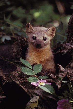 Marten with Flowers