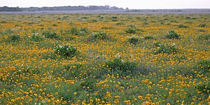 Texas bullnettle & plains coreopsis, Attwater Prairie Chicken National Wildlife Refuge, Colorado Co., TX, USA (3 May 2018)