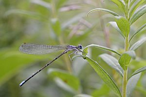Blue-fronted Dancer (Argia apicalis) (14681891387)
