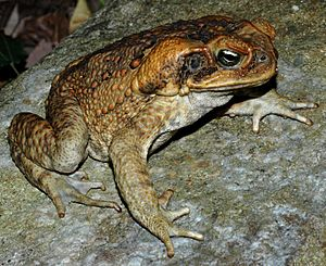 An adult cane toad, brown in colour, displaying the unwebbed front feet, webbing on the back feet, and large parotoid glands on the side of the head.