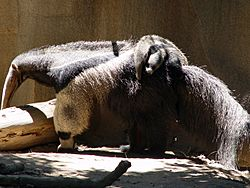 Giant Anteater with child