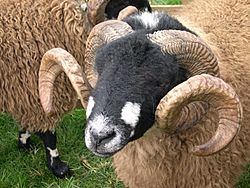 Sheep with interesting horns