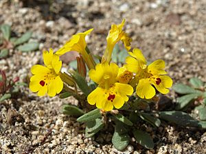 Carson Valley monkeyflower, Erythranthe carsonensis.jpg