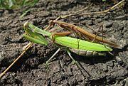Mantis religiosa couple