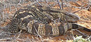 Monitor lizard in Kalahari