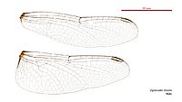 Diplacodes trivialis male wings (34895370722)