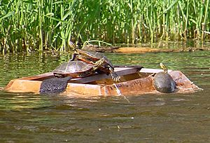 Turtles on trap1