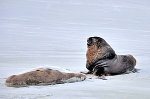 Two sea lions on the beach of Otago Peninsula
