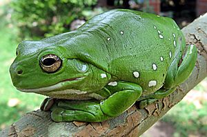 Australia green tree frog (Litoria caerulea) crop