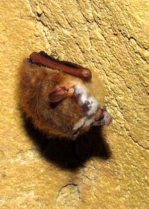 Tri-colored bat (Perimyotis subflavus) with WNS growth