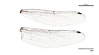 Dromaeschna forcipata male wings (34895379272)
